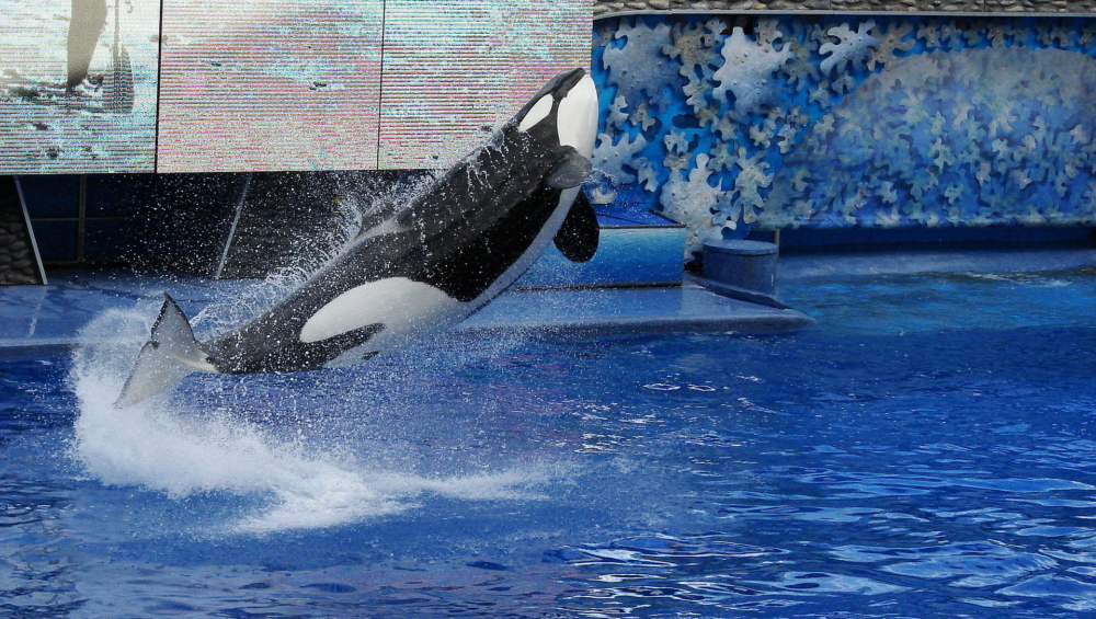 Tilikum, the famous orca who died on January 6th, performing at SeaWorld